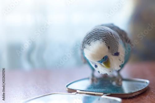 Obraz na płótnie Male budgerigar on a table