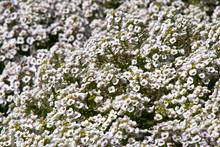 Sydney Australia, Garden Bed Of White Sweet Alyssum Flowers
