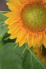 A Vibrant Yellow Sunflower