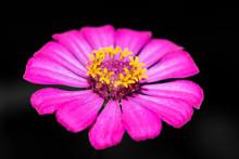 A Portrait Of Pink Zinnia Flower