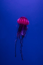 Jellyfish Floats In The Water