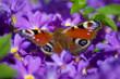 Butterfly Peacock eye on a purple primrose