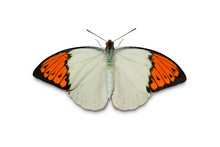 Great Orange Tip (Hebomoia Gla...