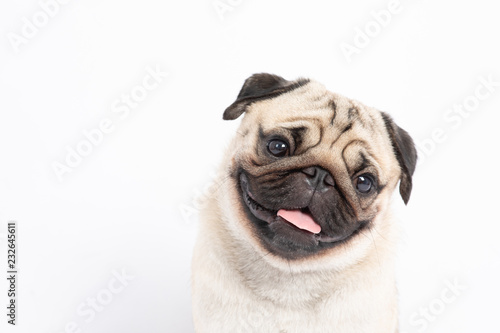 Foto  Cute pet dog pug breed smile with happiness feeling so funny and making serious