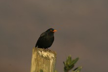 Blackbird Are A Pole For The Distribution Of The Telephone Line