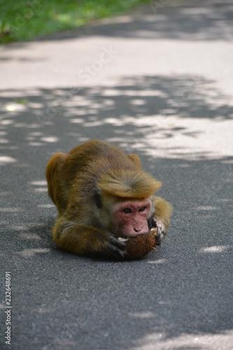 Fotobehang Aap Affe genießt Kokosnuss