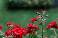 Colorful Vivid Red Geraniums G...