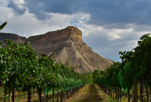 Palisade Grape Vines