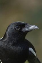 European Magpie Close Up
