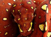 Close Up Amazon Tree Boa