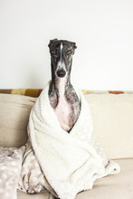 A Greyhound On The Couch With A Blanket