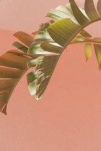 Palm Leaf Against Pink Wall
