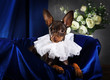 Portrait of a toy terrier dog in the interior