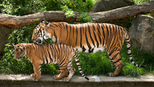 Malayan Tiger, Mother With Kit...