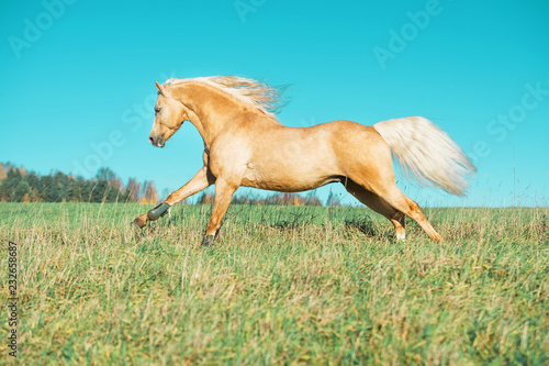 running palomino welsh pony with long mane posing at freedom Wallpaper Mural
