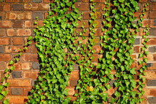 Brick Wall Covered With Green ...