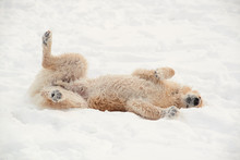 Dog Rolling In The Snow