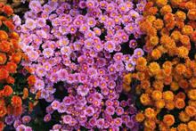 Purple And Orange Chrysanthemu...