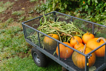 Wagon Filled With Pumpkins And Peas