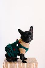 Adorable French Bulldog In A C...