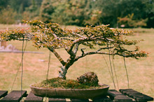 Bonsai Tree In The Park