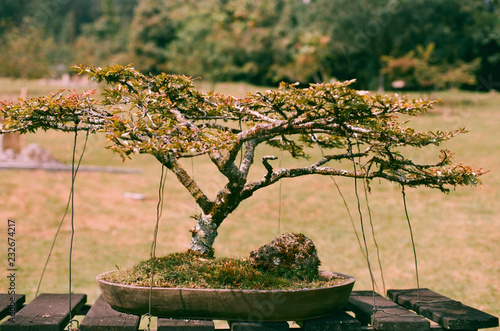 Bonsai tree in the park