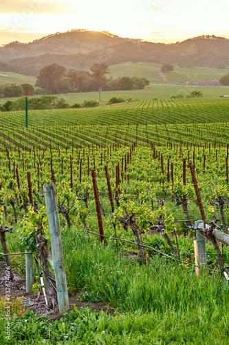 Spoed Foto op Canvas Verenigde Staten Vineyards at sunset in California, USA