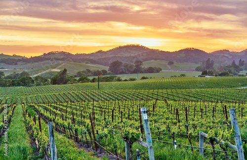 Poster Centraal-Amerika Landen Vineyards at sunset in California, USA