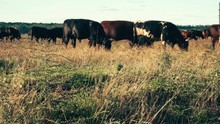 Herd Of Cows In The Pasture. I...