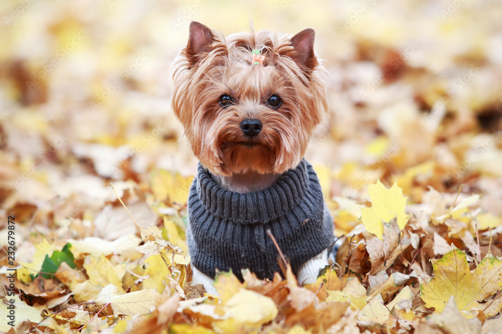 Fototapety, obrazy: yorkshire terrier in a sweater in autumn park