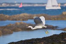 Closeup Little Egret (Egretta ...