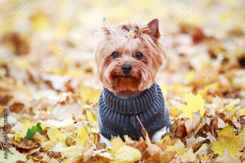 Foto  yorkshire terrier in a sweater in autumn park