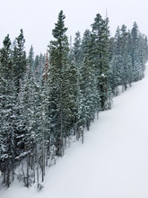 Snow Covered Slope And Pine Tr...