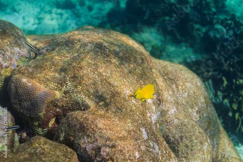 Fotografia  Juvenile blue tang