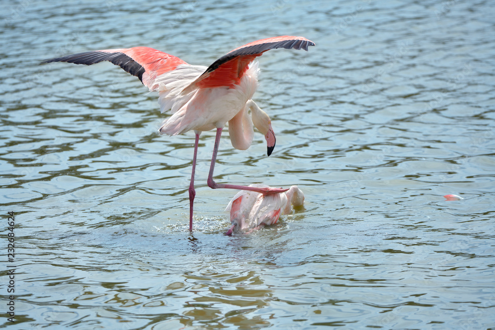 Mating of flamingos (Phoenicopterus ruber) in water, in the Camargue is a natural region located south of Arles, France, between the Mediterranean Sea and the two arms of the Rhône delta