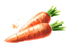 Fresh Carrots. Watercolor Hand...