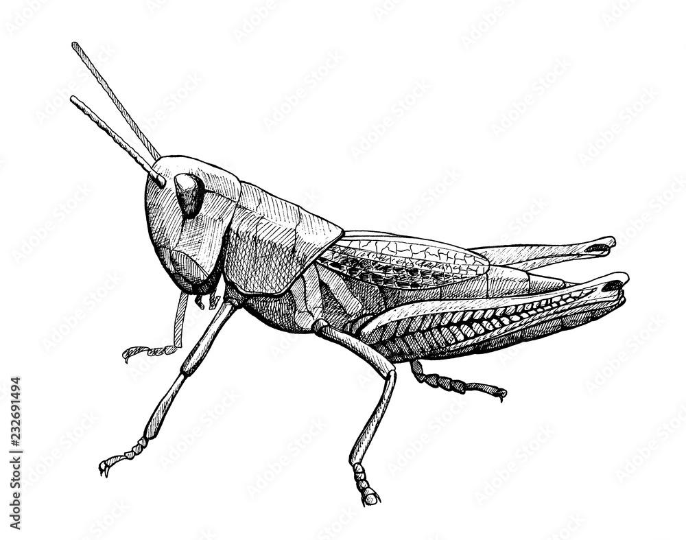 Fotografie, Obraz grasshopper insect vintage ink hand drawn illustration
