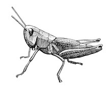 Grasshopper Insect Vintage Ink...