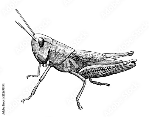 Stampa su Tela grasshopper insect vintage ink hand drawn illustration