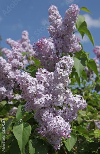 Staande foto Lilac Lilas blanc rosé