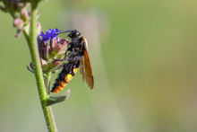 The Female Mammoth Wasp Megasc...