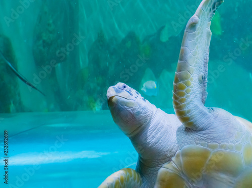 funny green or loggerhead turtle swimming by and saying hello with a angry expre Canvas-taulu