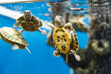 Group Of Turtles Swimming