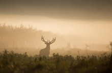 Red Deer In Forest On Foggy Mo...