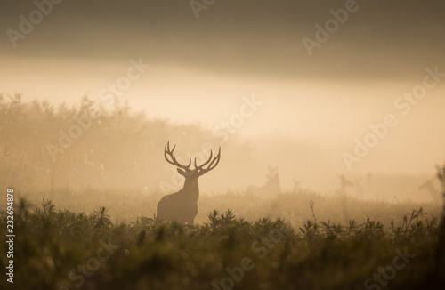 Photo sur Aluminium Chasse Red deer in forest on foggy morning