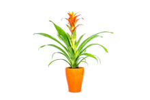 Blooming Orange Bromeliad Flower With Green Leaves In Orange Stylish Pot Closeup Isolated On White Background