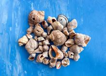 Veined Rapa Whelk, Or Rapana Venosa, Sea Shells On Bright Blue Background