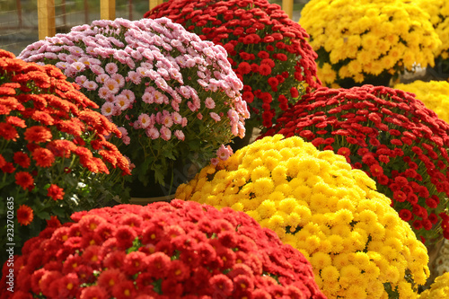 Leinwand Poster View of fresh beautiful colorful chrysanthemum flowers