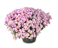 Pot With Beautiful Colorful Chrysanthemum Flowers On White Background