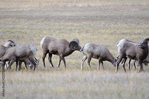 Photo  Rocky Mountain Bighorn Sheep, Montana